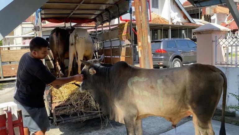 Penurunan sapi-sapi kurban di Rumah Singgah Andre Rosiade sebelum disalurkan ke masjid dan mushalal tempat berkurban yang tersebar di Padang, Sijunjung, Dharmasraya dan Agam. (Dok : Istimewa)