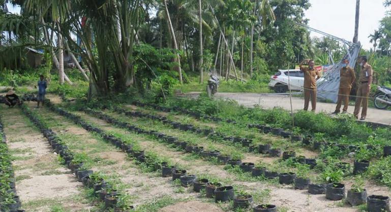 Kepala Dinas Pertanian Pangan Perikanan (PPP) Pariaman, Dasril saat meninjau lahan pembibitan cabai rawit Desa Sikabu, Senin (8/2). (Dok : Istimewa)