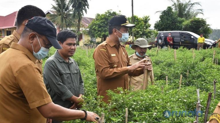 Genius Umar saat meninjau tanaman cabai keriting akar yang ditanam masyarakat Desa Sungai Pasak. Selasa (16/2). (Foto : Arzil)