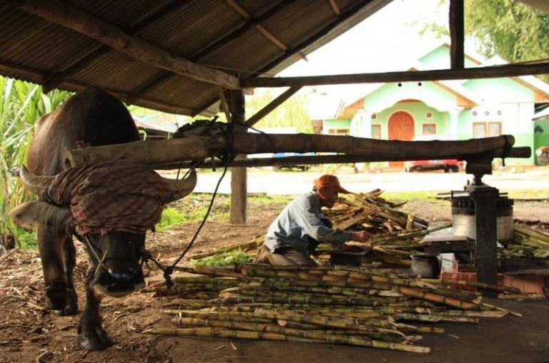 Kilang pengolahan Saka Lawang yang ada di kawasan Lawang Agam masih dilakukan secara tradisional dengan menggunakan tenaga kerbau. (Dok : Istimewa)