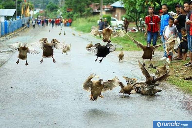 Sejumlah itik terlihat terbang dalam lomba pacu itiak di salah satu tempat di Kota Payakumbuh dan Kabupaten Limapuluh Kota. (foto by merahputih.com)