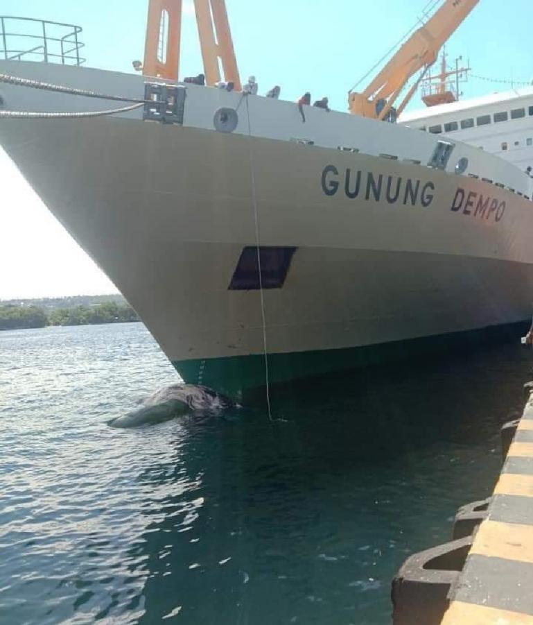 Paus Baleen Tertabrak Kapal Diperairan Papua