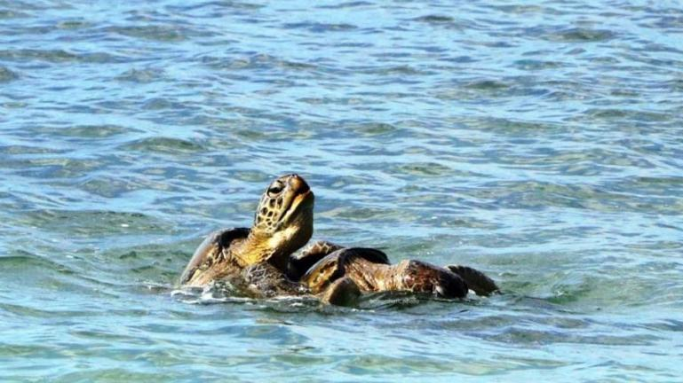 Dua ekor Penyu Lekang sedang proses kawin di perairan Pulau Angso Duo, Sabtu siang (15/5). (Dok : Istimewa)