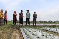 Pariaman Potensial Kembangan Tanaman Bawang Merah